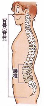 腰痛・腰椎の働き